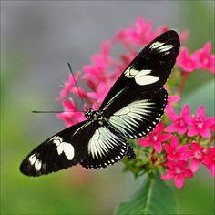 Pretty Butterfly, Green Doris Longwing
