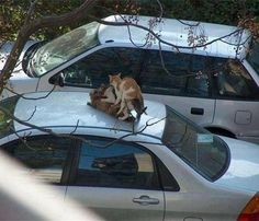 Me on the phone: Yeah I'm going to be late to work today. Supervisor: Why? Me: There's a cat gang bang happening on top of my ca...