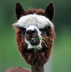 Alpacas on a farm in Goeming, Salzburg, are shorn in the spring to make the animals more comfortable for the summer months.