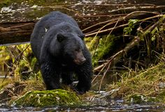 black bear searching for salmon
