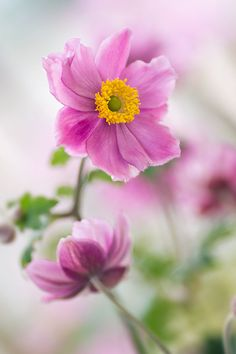 Anemone hupehensis by Mirka Wolfova on 500px