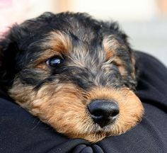 Airedale baby ... you wouldn't believe that there are neeeeeedles hidden under that soft mouth, would you? - LOL -