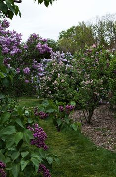 A garden full of lilac trees.