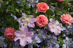 English Roses with Clematis Juuli & Clematis Perle d'Azur