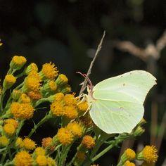 geel-groen / yellowgreen