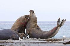 Two southern elephant seal (Mirounga leonina) bulls rear up and attack to establish dominance, Sea Lion Island, Falkland Islands, South America