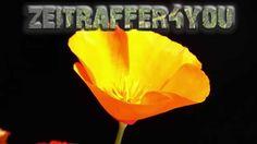 Kalifornische Mohn Eschscholzia californica Blooming Timelapse Zeitraffer
