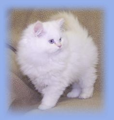 White Persian Himalayan Cat | Bicolor Himalayans. I always wanted a big, fluffy white cat with blue eyes.