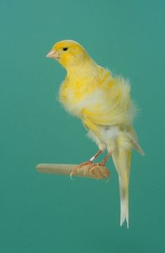 Yellow Northern Dutch Frill Canary