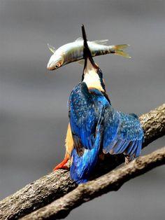 """A kingfisher: """"Got ya!"""""""