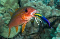 Yellowfin goatfish with a Hawaiian cleaner wrasse.