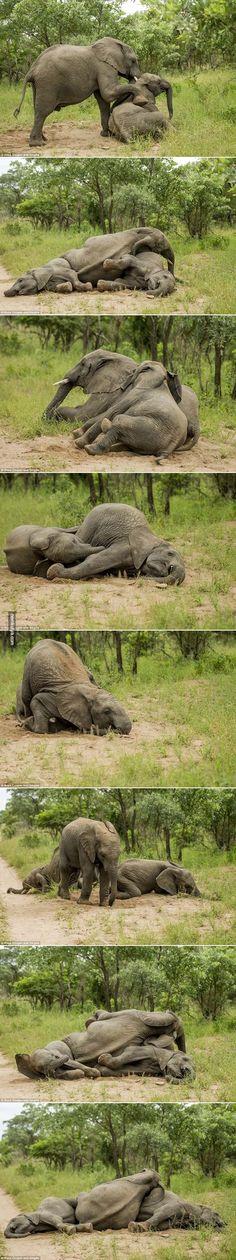 Nemkutya.com - Az elefántok felöntöttek a garatra - Egy kis erjesztett gyümölcs és indulhat a buli! :)