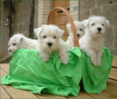Westhighland White Terriers