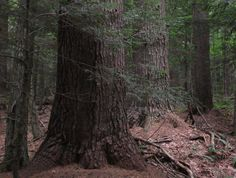 Eastern White Pines. Ray Asselin, New England Forests.