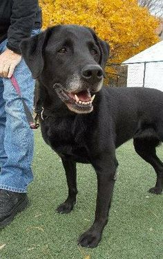 Rosa - Labrador Retriever - 8 yrs - Female - 85 lbs, Lively,  Playful & SweetPoor Rosa was dumped at the shelter because her people were moving. But there's no point in dwelling on the past when the future looks promising for a totally perfect and...