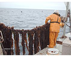 Marine #Algae are a resource with huge potential as a nutrient source for cattle, chickens, and pigs.