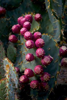 """Des """"Cactus"""" avec leurs fruits.... """"Figues de Barbarie""""......"""