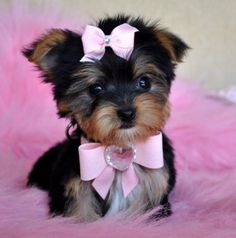 Teacup yorkie. So adorable!!