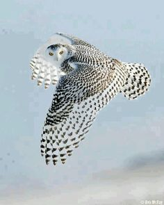 Snow owl, beautiful!