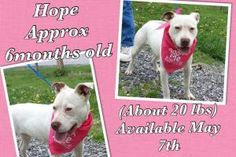 Hope is an adoptable Pit Bull Terrier Dog in Wytheville, VA. Meet Hope Female stray from 4th Street Wythe County VA Very young and playful Very sweet girl Approx 6 months old Ready for adoption May 7,...