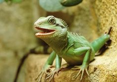 Learn what kind of care requirements pet Chinese water dragons have.