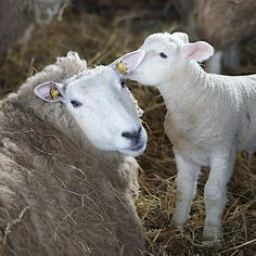 little lamb and mother sheep