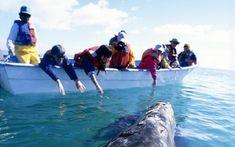 Recorrido por la península mexicana con un emocionante encuentro con los seres vivos más grandes del planeta