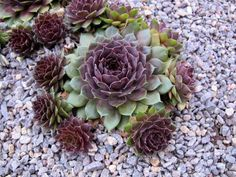 Hen and Chicks (Sempervivum) - All For Garden Succulent Landscaping, Modern Landscaping, Front Yard Landscaping, Landscaping Ideas, Succulent Rock Garden, Backyard Patio, Home Design, Zero Scape, Sempervivum