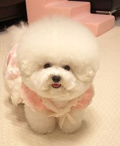 Cute Cats And Dogs, Cute Dogs And Puppies, Baby Dogs, Animals And Pets, Pet Dogs, Cute Animals, Doggies, Small Dog Accessories, Bichon Dog