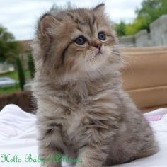 Hello Baby - Mâle - British longhair black golden - cat