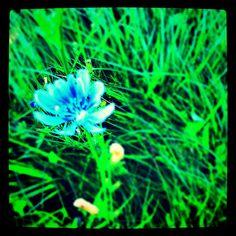 Blue Meadow Weed