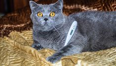 Here's what you need to know about how to safely take your kitty's temperature at home with a thermometer. All About Cats, Cat Facts, Take That, Kitty, Animals, Little Kitty, Animales, Animaux, Kitty Cats