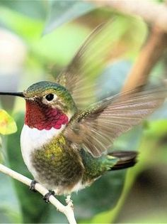 Ruby-throated hummingbirds zoomed on invisible wings from flower to flower, sharing nectar with the honeybees in the gardens we'd planted. Hummingbird Pictures, Ruby Throated Hummingbird, Bird Design, Hummingbirds, Bird Watching, Bird Feathers, Beautiful Birds, Great Photos, Pet Birds