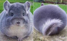 camerons chinchillas