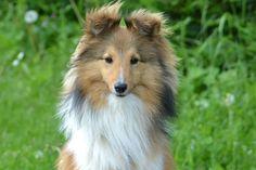 shetland sheepdog fauve