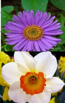 Alpha Sigma Alpha, narcissus and aster.