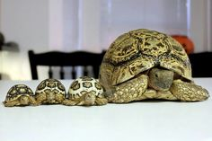 5 Important Things to Consider in Tortoise Pet Care Kinds Of Turtles, Land Turtles, Baby Sea Turtles, Cute Turtles, Tortoise Habitat, Baby Tortoise, Tortoise Care, Tortoise Turtle, Tortoise Food