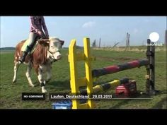 Luna the jumping cow - this girl needs a horse!  However, the cow is cute!  Who knew??!!