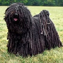 Yes-- the Puli has hair/fur that naturally grows in dreadlocks...way cool