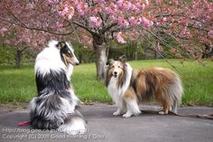 ~ SHELTIE  (RIGHT) W/A COLLIE ~ http://blog.goo.ne.jp/ku-kuma0331