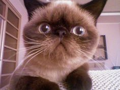 #Anfisa_the_cat  exotic shorthair cat Hi!)