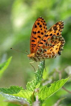 Scientific name: Argyreus hyperbius (Linnaeus, 1763).  English name: Indian Fritillary.  Japanese name: ツマグロヒョウモン (Tsuma-guro-hyoumon).