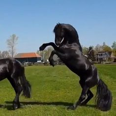 Friesians & Horses Funny & Funny Horse Meme & & Visit our site for more amazing videos ! The post Friesians appeared first on Gag Dad. The post Friesians😍 appeared first on Gag Dad. Pretty Horses, Beautiful Horses, Animals Beautiful, Cute Funny Animals, Cute Baby Animals, Animals And Pets, Horse Pictures, Animal Pictures, Horse Meme