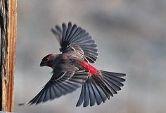 finches in flight - Google Search