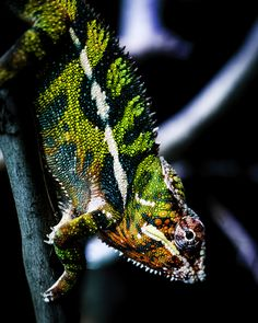 https://flic.kr/p/EXQhXh | Life in Color | Another look at my favorite lizard, the panther chameleon.