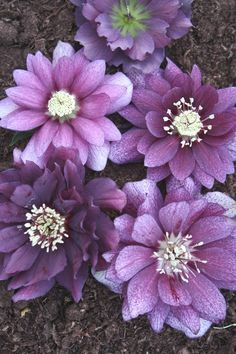 Brighten your garden with hellebores, also called Lenten roses. These shade-loving beauties resist deer and come back reliably for years.