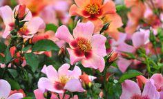 Lange haben Züchter an einer neuen Rosenlinie getüftelt. Jetzt ist es gelungen, den Reiz einer Wildrose aus den Steppen Zentralasiens mit den Vorzügen moderner Züchtungen zu verbinden.