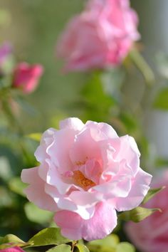 'Spanish Beauty' | Hybrid Tea Rose.