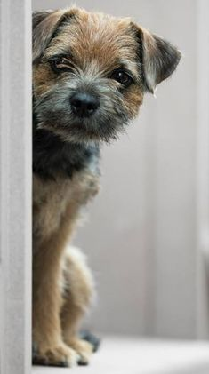 Adorable Border Terrier Stefanie Margareta Fotografie Dog Photography and pets yelling meaning, and pets questionnaire design on hiv, wild and pets comparison and contrast essay topics, do people and pets have a special relationship hbo now cost. Border Terrier Puppy, Terrier Dogs, Pitbull Terrier, Bull Terriers, Dog Photos, Dog Pictures, I Love Dogs, Cute Dogs, Norwich Terrier