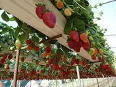 Grow Strawberries In Rain Gutter Planters (Video) Today we are going to see how to grow hydroponic strawberries off the ground using rain gutters. Hydroponic Strawberries, Strawberry Planters, Grow Strawberries, Potager Palettes, Vertical Vegetable Gardens, Vegetable Gardening, Gutter Garden, Planting Vegetables, Gardening For Beginners